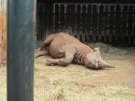 Lazy, sleepy rhino
